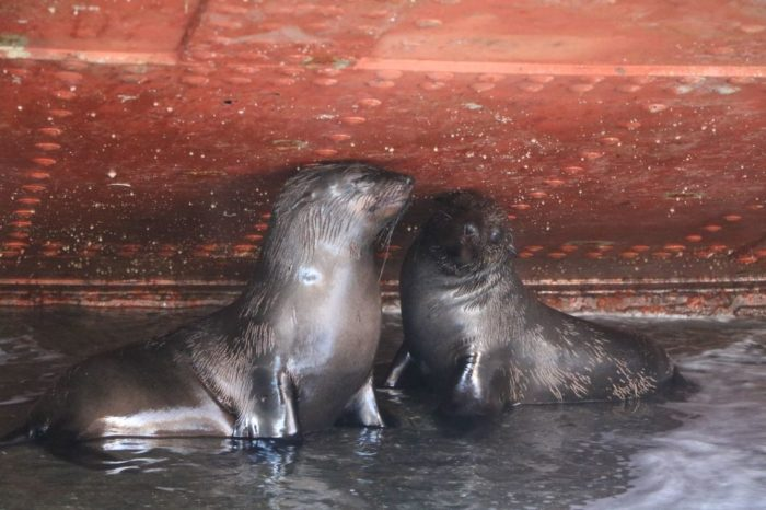 WATCH: Scared Cape Fur Seals rescued at V&A
