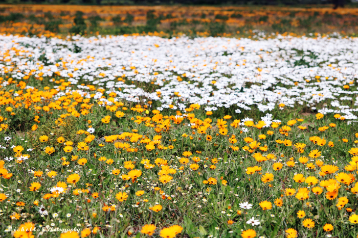 PICTURES: The Western Cape blooms