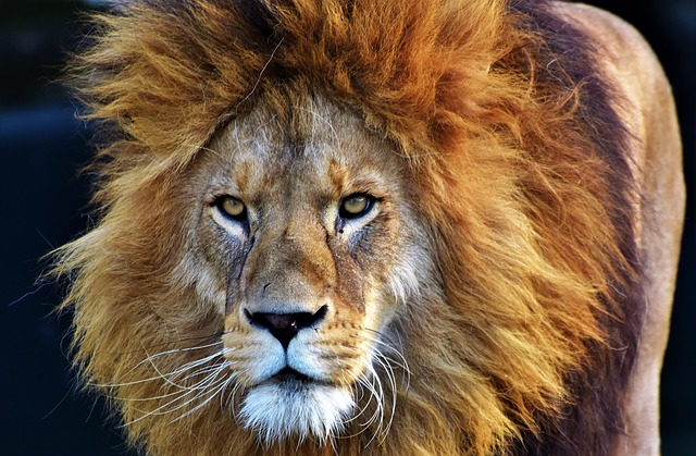 The truth about South Africa's lion bone trade