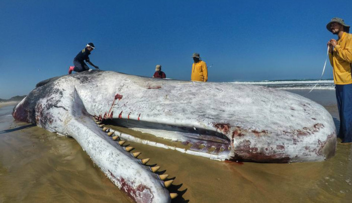 Sperm Whale washes up on Swartvlei beach