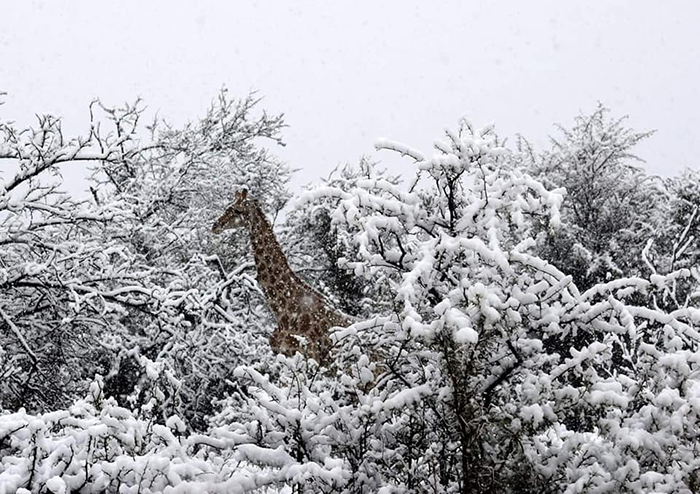 PICTURES: Spot the snow giraffe