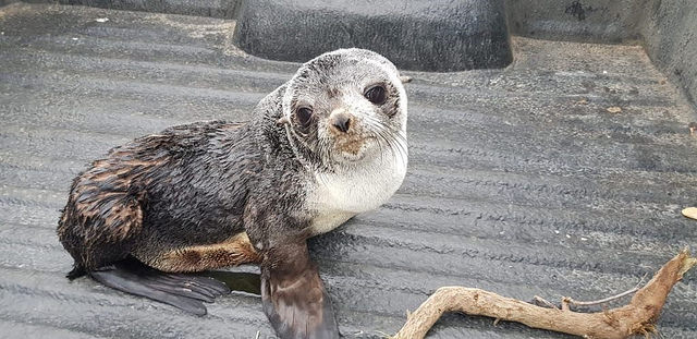 Adorable seal pup rescued by NSRI