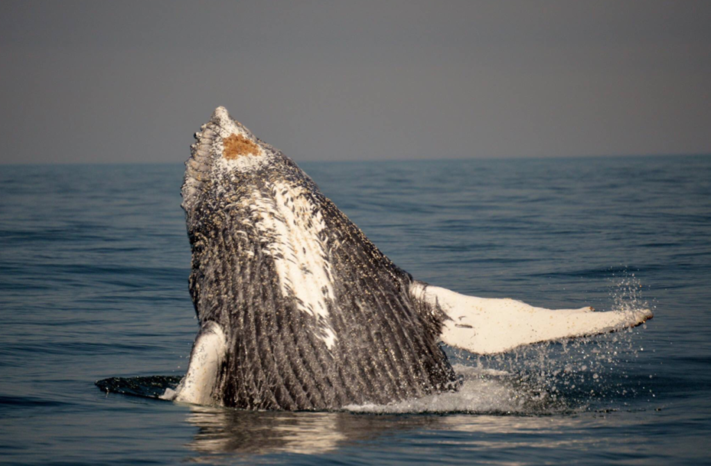 PICTURES: Humpbacks have a whale of a time