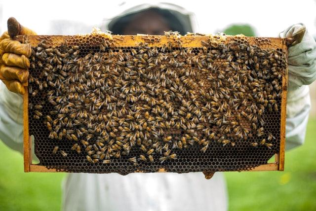 Swarms of Cape bees die