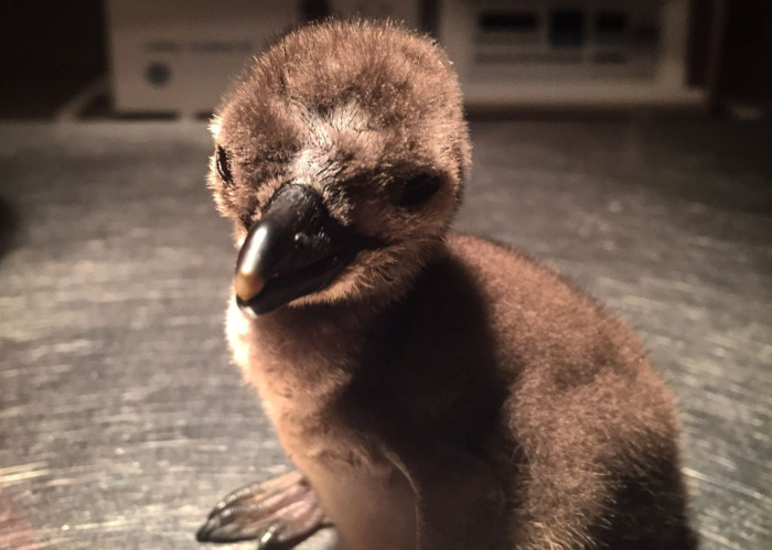 Save seabirds with SANCCOB internship