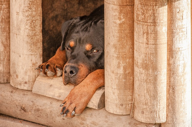 Rottweilers maul six-year-old to death