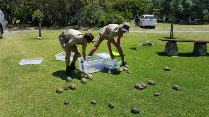 Tortoises saved from Overstrand blaze