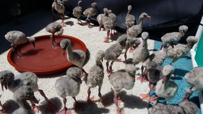 Rescued baby flamingos thriving