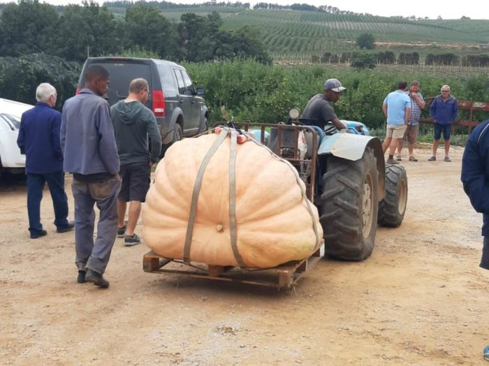 Cape Town's biggest pumpkin wins gold
