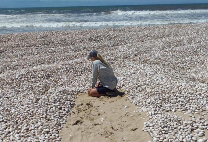11.5-million clams wash ashore on Robberg Beach