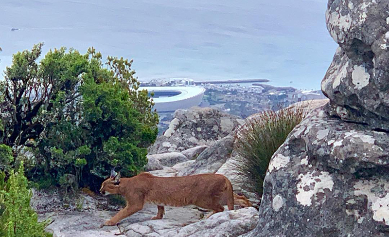 Elusive caracal spotted on Table Mountain