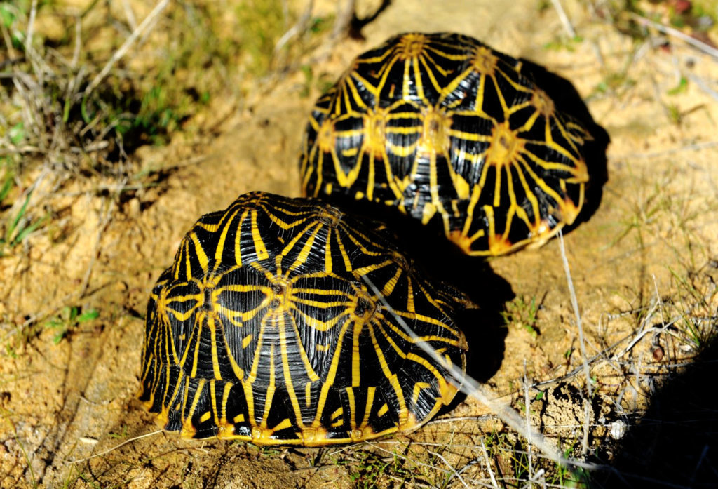 Rare Western Cape geometric tortoise in danger