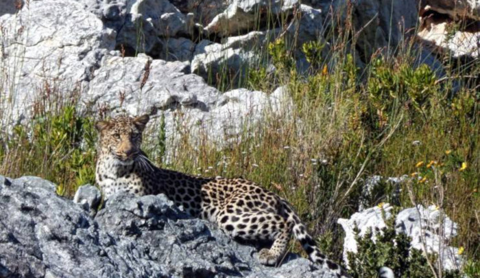 Cape leopard run over by vehicle near Worcester