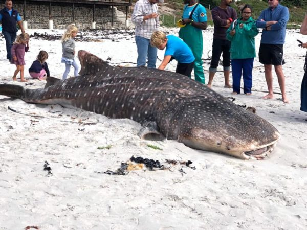 Another whale shark washes up on CT shore