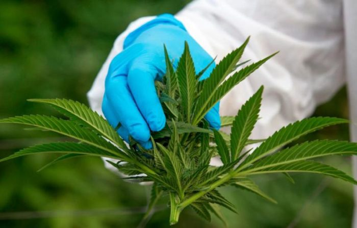 SA's first cannabis cultivation licence awarded in Cape Town