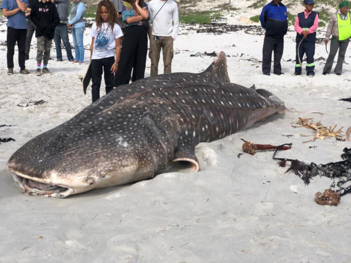 Whale shark washes ashore on local beach