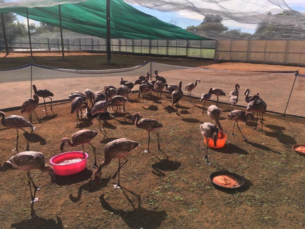 Rescued flamingos prepare to take flight