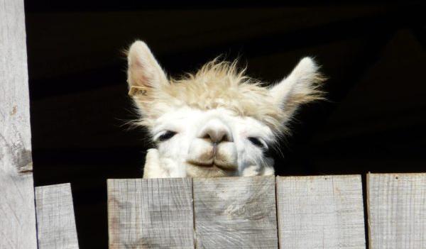 National Alpaca Day at The Alpaca Loom